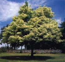 Boom die tot ca 4-5 meter hoog wordt met een brede / grote kroon.